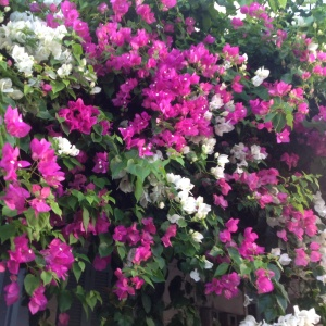 Bouganvillea blooming